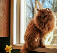 Pumpkin in the Window (marvhimmel) Tags: orange daffodil general pumpkinthecat