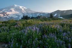 Lavender dawn at Paradise (Laura Jacobsen) Tags: hiking mtrainier mtrainiernationalpark mttahoma nationalparks paradise rainier wildfire wildflowers