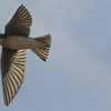 Dixon_JB_236_3549 (Joanne Bouknight) Tags: bird canadarye dangit dixonwaterfowlrefuge hickoryhollow illinois missedshot ornearhickoryhollow swallow thewetlandsinstitute