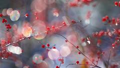 Houx et glace (Nicole Barge) Tags: bokeh dof pdc ilexverticillata houxverticillé 2017 forêt forest redberries baiesrouges cerclesdeconfusion coloré automne autumn fall coloured red ice