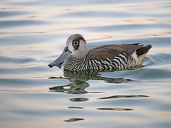 Pink-eared Duck (James_Preece) Tags: pinkearedduck anatidae malacorhynchusmembranaceus leicadgvarioelmar100400mmf4063 panasoniclumixdcgh5 wtp m43 duck