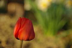 Cheerful red (natural illusions) Tags: red tulip spring april flower closeup goldenhour pentax k200d jpg imagemagick plant outdoor slovenia europe nature lb1415 allrightsreserved dof bokeh flora garden delightful daffodils interesting warmth wow tulipan pomlad