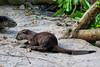 Bishan Otter Pup (Mark Harris photography) Tags: bishanotter otter smoothcoated canon singapore marinabay gardensbythebay sg cuteness cute
