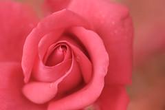 pleur de rose (christophe.laigle) Tags: rose rouge fleur macro xf60mm nature flower fuji xpro2 christophelaigle red ngc