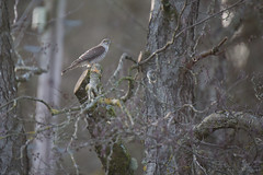 Sparrowhawk (Ben Locke.) Tags: sparrowhawk bird birds wild wildlife nature forestofdean