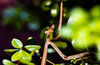The IS my best side (dmunro100) Tags: praying mantis insect garden closeup evening summer adelaide