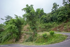 Mega-Bamboo at the Road (3284) (Stefan Beckhusen) Tags: bamboo big tall nature plant tree road street serpentine green tropic flores indonesia asia landscape countryside travel forest vegetation flora outdoors jungle rainforest wood ecosystem noperson environment standing bush grass