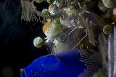 Colourful tunicates