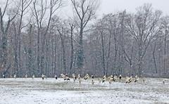 IMG_7909 snow storks (pinktigger) Tags: stork cigüeña storch cicogne ooievaar ciconiaciconia cicogna cegonha bird nature fagagna feagne friuli italy italia oasideiquadris animal outdoor snow wintwe inverno neve