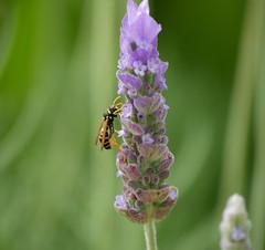 Wasp on lavender (Matt C68) Tags: calanbosch calan bosch cap dartrutx capdartrutx menorca balearic island spain holiday vacation flower wasp insect lavender panasonic lumix g7