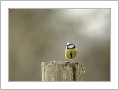 Attention. (muddlemaker1967) Tags: hampshire wildlife photography thenewforest national park great tit winter 2018 nikon d700 nikkor 200500mm f56
