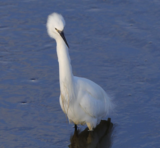 LITTLE EGRET....Kidwelly