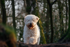 Labradoodle approaching..... (80D-Ray) Tags: dog labradoodle woods forest trees adorable fluffy animal