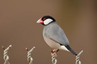Java Sparrow / Java Finch (Lonchura oryzivora