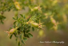 Rosehip (Anna Calvert Photography) Tags: australia canberra floral flowers landscape macro nature plants rosehip roses buds wildroses