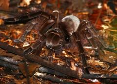 Goliath Tarantula (Theraphosa blondi) (berniedup) Tags: macouria guyane goliathtarantula theraphosablondi tarantula taxonomy:binomial=theraphosablondi spider