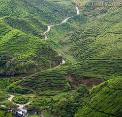 Road through the Tea (Mark Twells) Tags: tanahrata pahang malaysia my tea cameron highlands road track boh