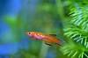 Aphyosemions australe gold (ladybird13420) Tags: fish poisson aquarium nano yellow jaune red rouge macro nikon d5100 nature killi cap lopez gold juvenile