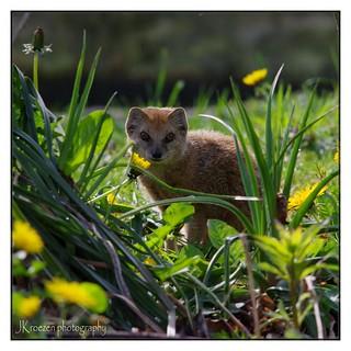 Yellow mongoose - Vosmangoest