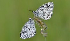 Marbled White (Melanargia galathea). (Bob Eade) Tags: butterflies marbledwhite melanargiagalathea lepidoptera seaford eastsussex sussex southdownsnationalpark downland macro nature nikon butterfly black white roosting grassland brown insect wildlife summer