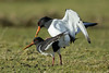 The Next Generation (Simon Stobart (Away For Two Weeks)) Tags: oystercatchers haematopus ostralegus mating ngc coth5 npc