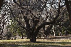 A SMALL AIRPORT, SOME PARKS AND CLOUDS - CXXXVIII (Jussi Salmiakkinen (JUNJI SUDA)) Tags: chofu tokyo japan cityscape park wood landscape nogawa 調布 林 森 武蔵野 多摩 東京 日本 風景 公園 野川公園 january winer woods tree 2017 tammikuu cherry