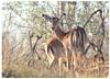 Just Imagine! This Was a Rare Sight! (The Spirit of the World ( On and Off)) Tags: safari gamedrive impalas antelopes hoofedanimals woodlands bush brush ngala timbavati sothafrica africa nature wildlife ngc npc