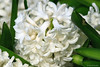 Hyacinth (dpsager) Tags: chicago dpsagerphotography flower lincolnparkconservatory hyacinth