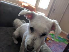 Juanita (earthdog) Tags: 2018 googlepixel pixel androidapp moblog cameraphone juanita poodlemix dog liveanimal pet animal