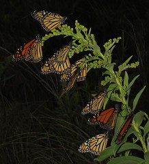 Monarch roost (Bug Eric) Tags: animals wildlife nature outdoors insects bugs butterflies monarch danausplexippus nymphalidae lepidoptera newjersey usa stoneharborpoint northamerica september282017