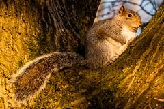 Sunday Squirrel (nic_r) Tags: moseleybog moseley bog birmingham birminghamuk woodland trees nikon d500 squirrel greysquirrel