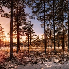 ~ moss ~  Riddarhyttan, Sweden (Tankartartid) Tags: snö snow winter vinter nordic norden västmanland riddarhyttan europe sverige sweden landskap landscape träd solnedgång sol sunset sun skog mosse moss forest trees natur nature instagram ifttt
