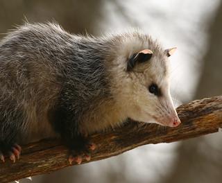 opossum-12w