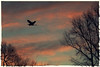 Great Blue Heron flight at dawn. (jeanne.marie.) Tags: aqua bird blue clouds dawn flight flying greatblueheronardeaherodias pink silhouette sky sunrise trees winter