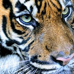 Too Close for Comfort, Sumatran tiger - 0623 thumbnail