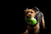 Play Play Play (Nathan J Hammonds) Tags: home studio backdrop lighting dog doggy welsh terrier nikon d750 side play playtime happy toy black colour color puppy