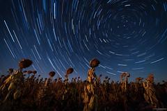 Vigilantes nocturnos (Andrés Domínguez Rituerto) Tags: noche night estrellas stars circumpolar startrail nocturna nocturne nightphotography fotografíanocturna girasoles sunflowers cielo sky