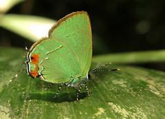 Erora badeta? (Camerar 4 million views!) Tags: butterfly erorabadeta green lycaenidae peru butterflies insect