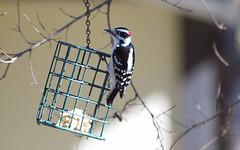 My Buddy (Kaptured by Kala) Tags: picoidespubescens downywoodpecker maledownywoodpecker garlandtexas woodpecker malewoodpecker suet suetbasket closeup outsidemywindow bold