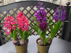 Hyazinthen (Sophia-Fatima) Tags: mygarden meingarten naturgarten gardening hyazinthen