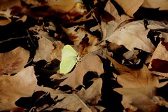 La prima farfalla (carlo612001) Tags: butterfly farfalla wildlife nature yellow leaves lovely ngc