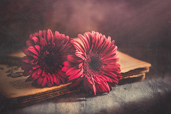 Vintage gerberas (Ro Cafe) Tags: stilllife flowers gerberas dark darkness oscuridad lowkey 52semanas52palabras vintage book old rustic dusty naturallight red setup arrangement romantic closeup nikkormicro105f28 nikond600