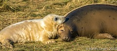 Tender loving care (keithhull) Tags: greyseal mother pup donnanook lincolnshire reserve
