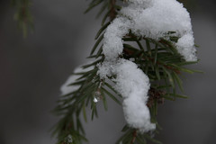My winter spruce (evakongshavn) Tags: nikon d7200 macro macroshot macrounlimited makro makroaufnahmen closeup close spruce snow coated snowfall snowtree