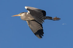 grey heron  blauwe reiger in flight (kPepels) Tags: grey heron blauwe reiger bif