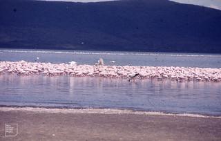 Lake Nakuru. Wood ibis (spoonbill is all white) and Flamingos