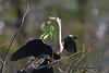 NESTING MATERIAL (concep1941) Tags: birds anhingaanhinga anhingafamily freshwatermarshes swamps rivers