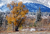Autumn Color Not Yet Fallen (DigitalSmith) Tags: grandtetonnationalpark mountains snowy fall winter