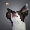 Zoe (ToriAndrewsPhotography) Tags: jump catch italian greyhound cross photography andrews tori biscuit