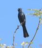 Phainopepla -- Male (Phainopepla nitens); Catalina, AZ, [Lou Feltz] (deserttoad) Tags: nature arizona bird wildbird songbird flycatcher phainopepla mesquite behavior